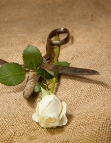 Scissors And Rose Stock Images