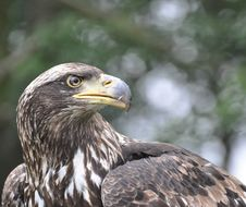 Free Brown Eagle Royalty Free Stock Photography - 17309677