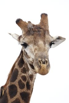 Free Giraffe With Oxpeckers, Isolated Royalty Free Stock Photography - 17309897