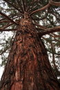 Free Sequoia Trunk Royalty Free Stock Photography - 17310527