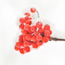 Free Rowan In Snow Royalty Free Stock Photo - 17310895