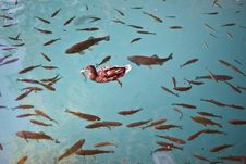Free Duck And Fishes In A Clean Lake Stock Photo - 17313830