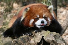 Free Red Panda Stock Images - 17313864