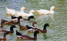 Free Duck Royalty Free Stock Images - 17314669