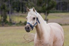 Free Arabian Horse Royalty Free Stock Images - 17315329