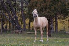 Free Arabian Horse Stock Images - 17315334