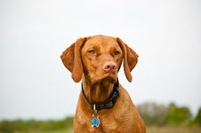 Free Vizsla Dog In A Field Royalty Free Stock Images - 17316749