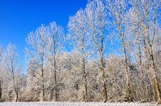 Free Poplars  In Snow Stock Images - 17318524