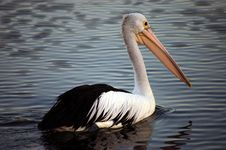 Free Pelican Royalty Free Stock Images - 17319569