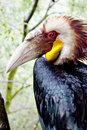 Free Papuan Hornbill Royalty Free Stock Photography - 17323227
