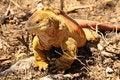Free Iguana Terrestre Stock Photo - 17329600