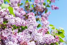 Free Pink Lilac Stock Photos - 17320453
