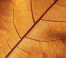 Free Autumn Leaf Royalty Free Stock Images - 17320989