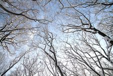 Free Treetops In Winter Royalty Free Stock Photos - 17321338