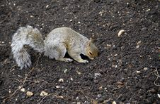Free Grey Squirrel Stock Images - 17321944