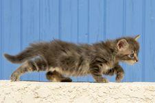 Free Kitten Royalty Free Stock Photos - 17322698