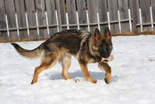 Free German Shepherd Dog Female Stock Photos - 17323133