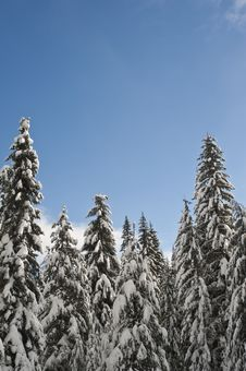 Free Snowy Winter Forest Royalty Free Stock Images - 17323789
