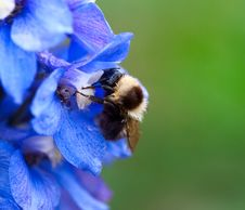 Free Bumblebee. Stock Images - 17323934
