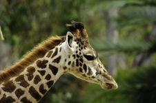 Free Giraffe Royalty Free Stock Photo - 17324795