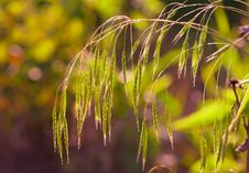 Free Grass Royalty Free Stock Images - 17327269