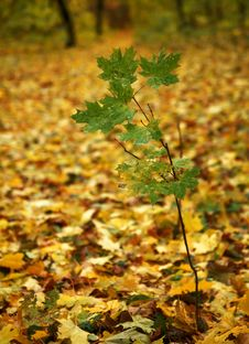 Free A Small Green Maple. Royalty Free Stock Image - 17328216