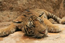 Free Sleeping Tiger Stock Images - 17328454