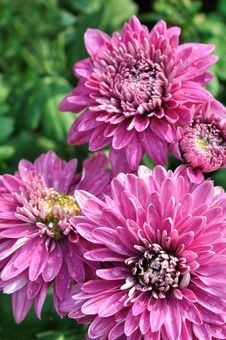 Free Purple Chrysanthemum Flower Royalty Free Stock Photos - 17329038