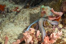 Caribbean Reef Octopus - Bonaire Stock Photography