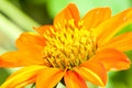 Free Orange Dahlia Stock Photography - 17335262