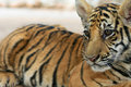 Free Baby Tiger Stock Images - 17336404