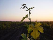 Free Grape Royalty Free Stock Photography - 17330737
