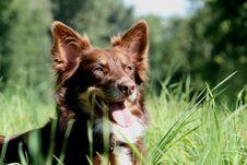 Free Australian Shepherd Royalty Free Stock Image - 17335526