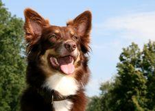 Free Australian Shepherd Royalty Free Stock Images - 17335549