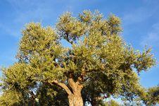 Free Olive Tree_01 Stock Image - 17335701