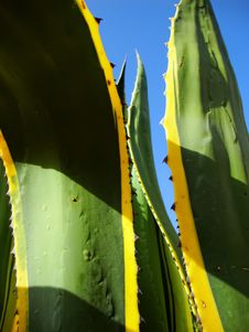Free Agave Royalty Free Stock Images - 17336819