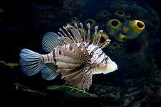 Free Lionfish Royalty Free Stock Image - 17339436