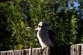 Free Kookaburra Stock Photography - 17346182