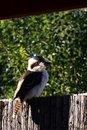 Free Kookaburra Royalty Free Stock Image - 17346186
