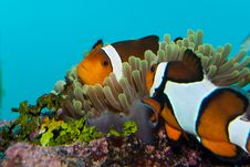 Free Clownfish Or Anemonefish Royalty Free Stock Images - 17340649