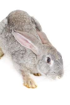 Free Gray Rabbit Royalty Free Stock Images - 17340779