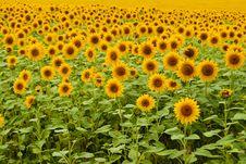 Free Sunflower Field Stock Image - 17340961
