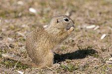 Free Souslik Or European Ground Squirrel Stock Image - 17341551