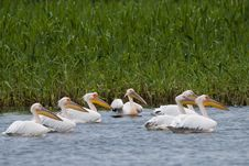 Free White Pelicans Flock Royalty Free Stock Photos - 17341748