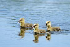 Greylag Goose Goslings Stock Images