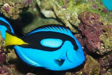 Blue Tang Or Hippo Tang Stock Photography