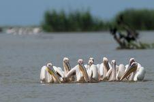 White Pelicans Flock Royalty Free Stock Photos