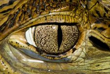 Cuvier S Dwarf Caiman Eye Royalty Free Stock Photography