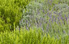 Free Lavender In The Grass With Rosemary Stock Image - 17343331