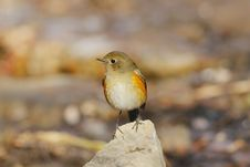 Free Red-flanked Bush Robin Stock Photography - 17344182